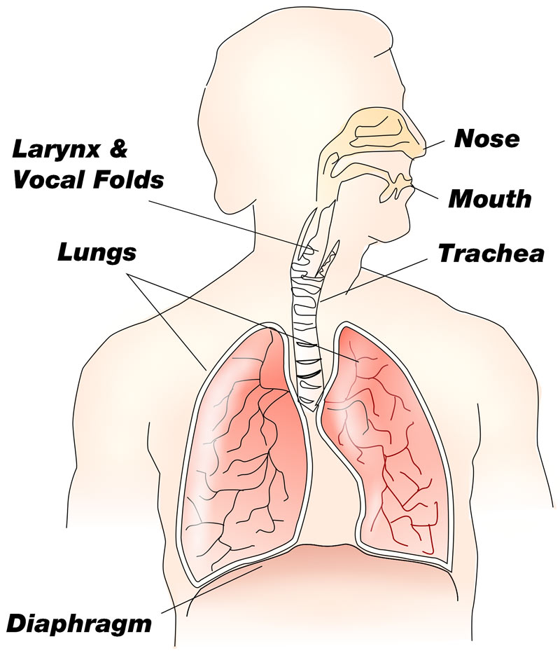 how does the respiratory system contribute to speech